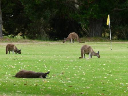 Kangaroos at Kalgan River caravan park by Dave Castro