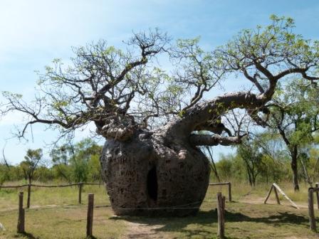 Boab Prison tree by Dave Castro