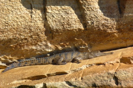 Saltwater Crocodile by Jo Castro