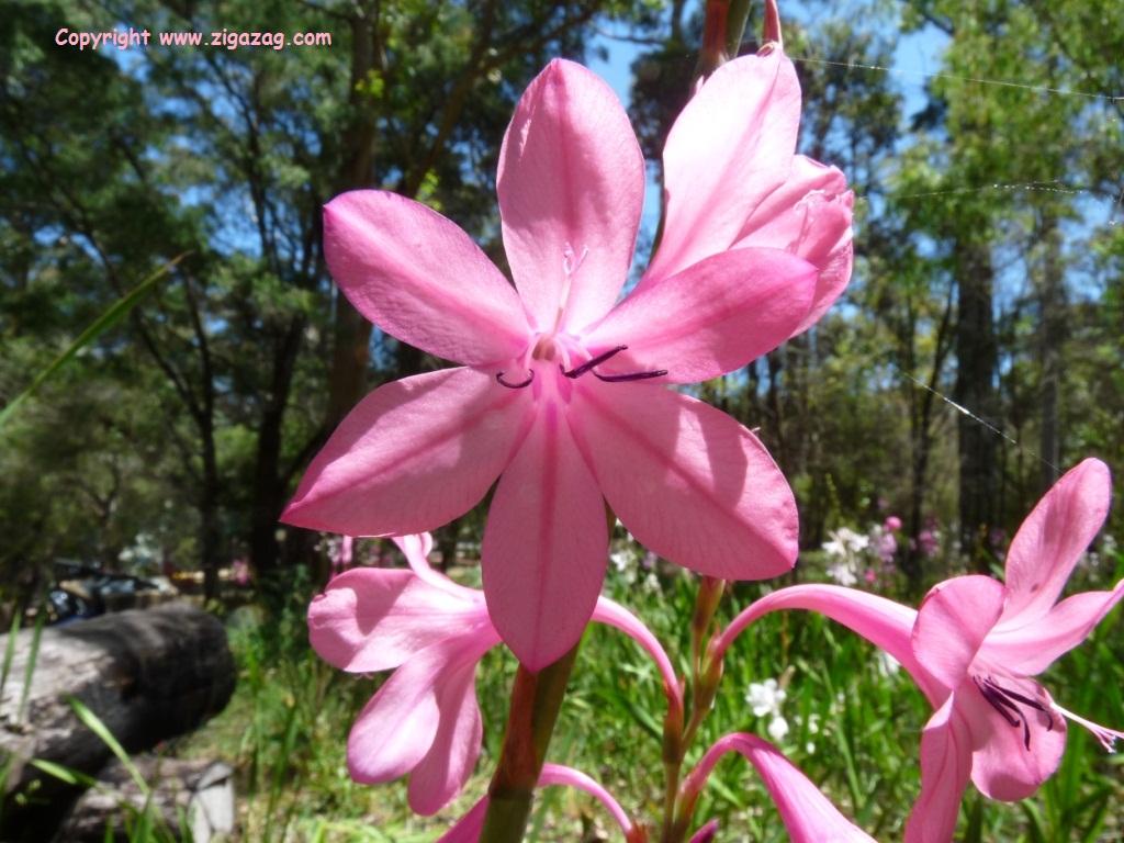 Watsonia by Jo Castro www.zigazag.com