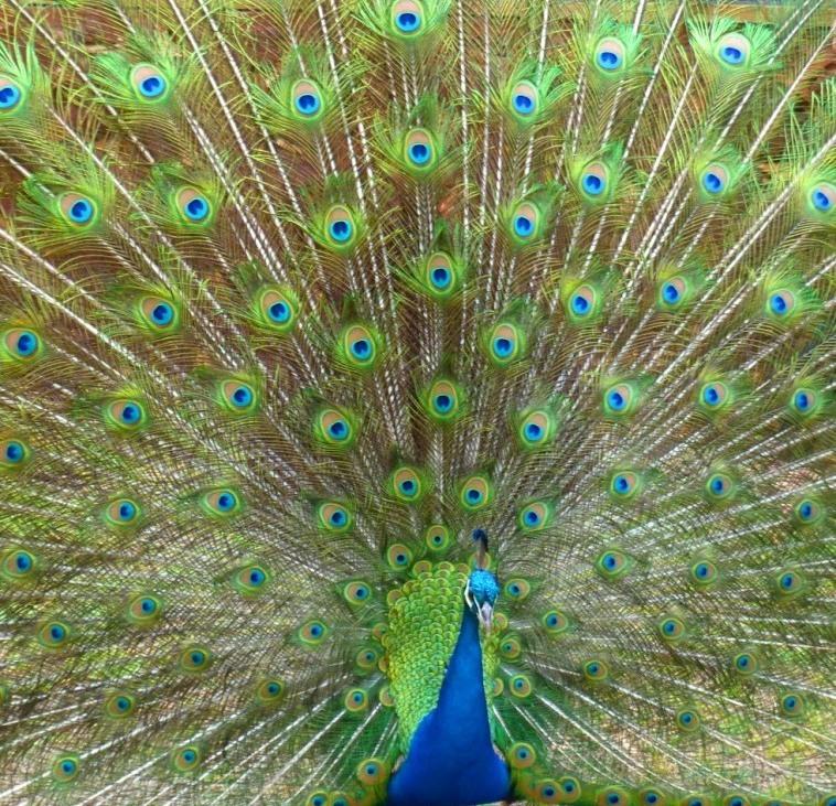 Peacock by Jo Castro