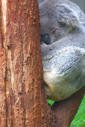 Koala by Jo Castro