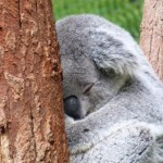 Koala Bear, Taronga Zoo, Sydney by Jo Castro