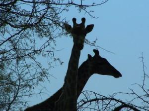 Giraffes, African wildlife