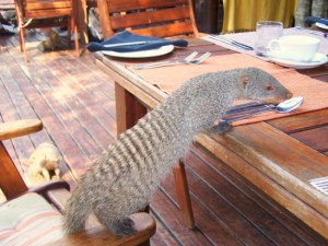 Meerkat, Madikwe Game Reserve