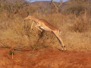 Springbok, Madikwe Game Reserve, Africa