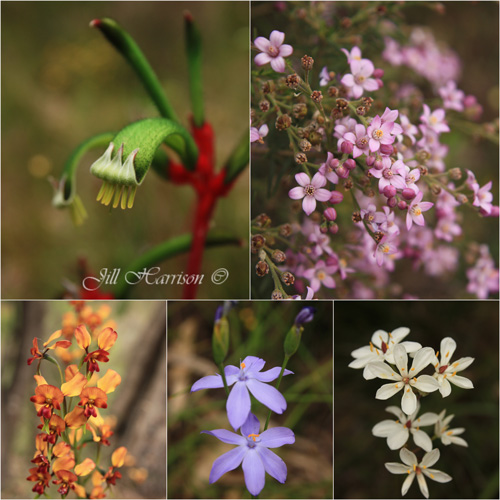 How to photograph Wildflowers, Western Australia by Jill Harrison
