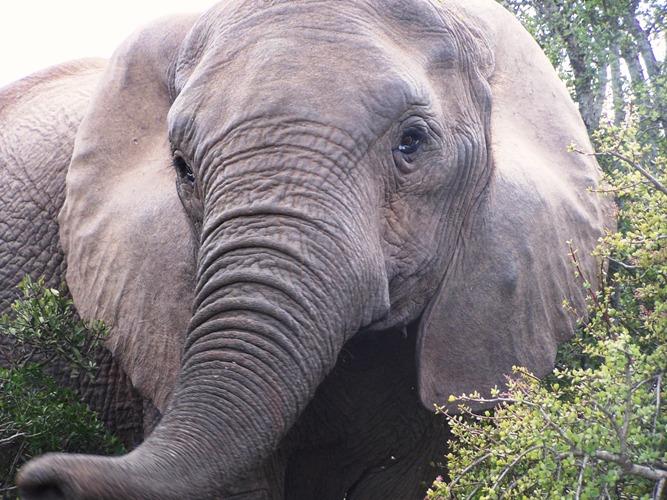 Elephant, Africa by Jo Castro