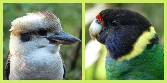 Kookaburra, Parrot, Western Australia by Jo Castro