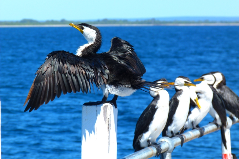 Cormorants at Busselton Jetty by Jo Castro