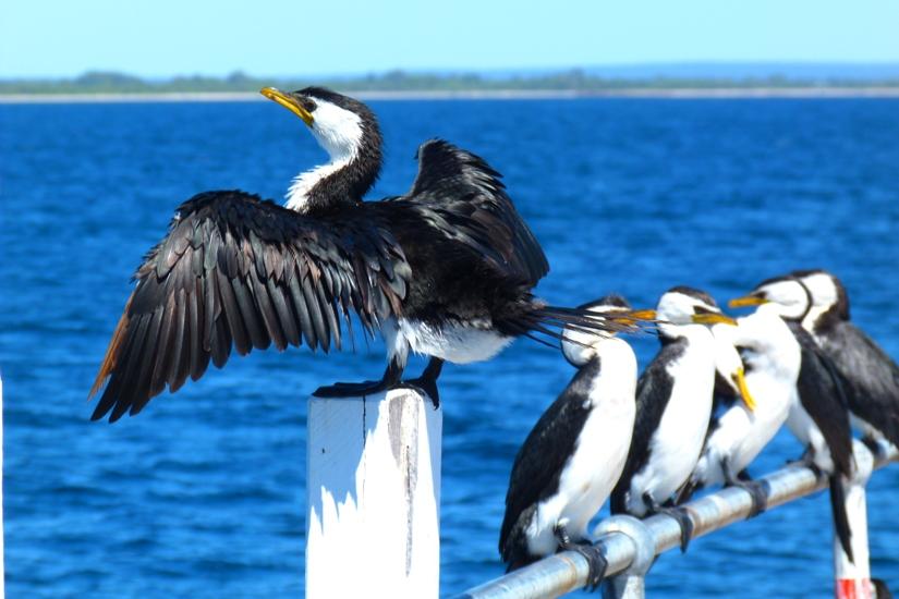 Cormorants at Busselton Jetty by Jo Castro