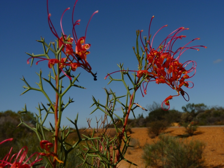 Where to go to see Wildflowers in Western Australia.