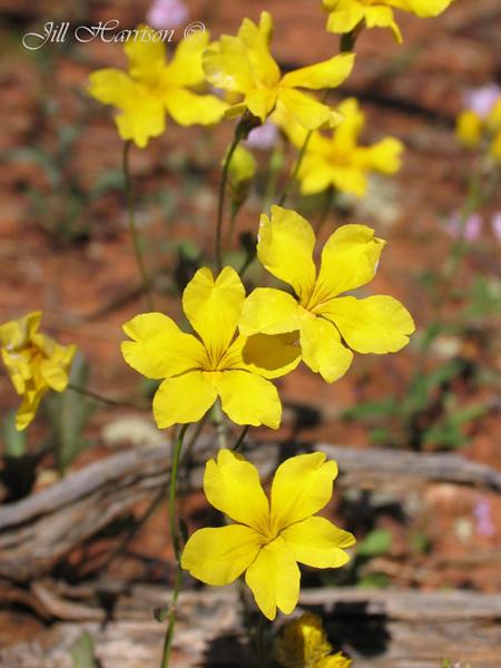 wildflower-trails-western-australia-Goodenia-GNHwy-JillHarrison