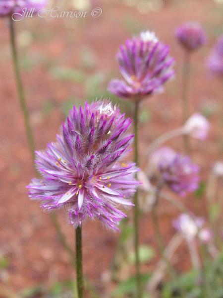 wildflower-trails-western-australia-Mulla-Mulla-JillHarrison