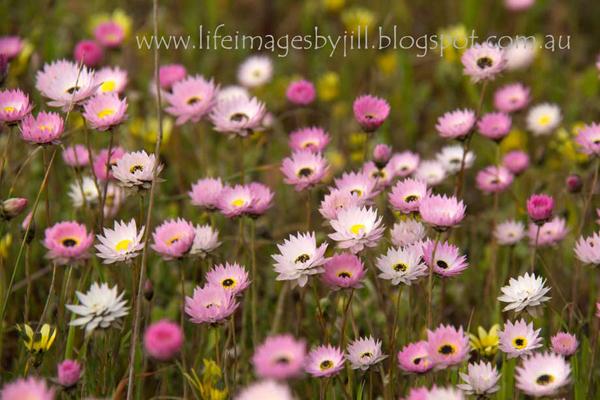 Wildflower-trails-western-australia-Wildflowers-Everalstings-JillHarrison