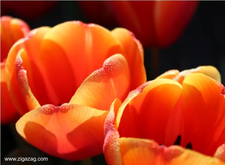 western australia, nannup, tulips
