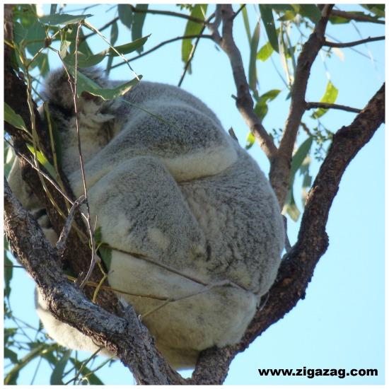 Things to do Magnetic Island, Koala