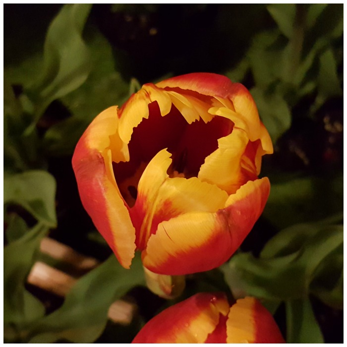 Post about a Road Trip from Bunbury. Picture of a tulip.