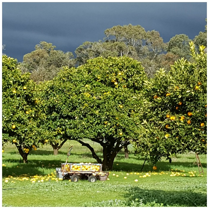 Orchard scene picture from post Road Trip from Bunbury.